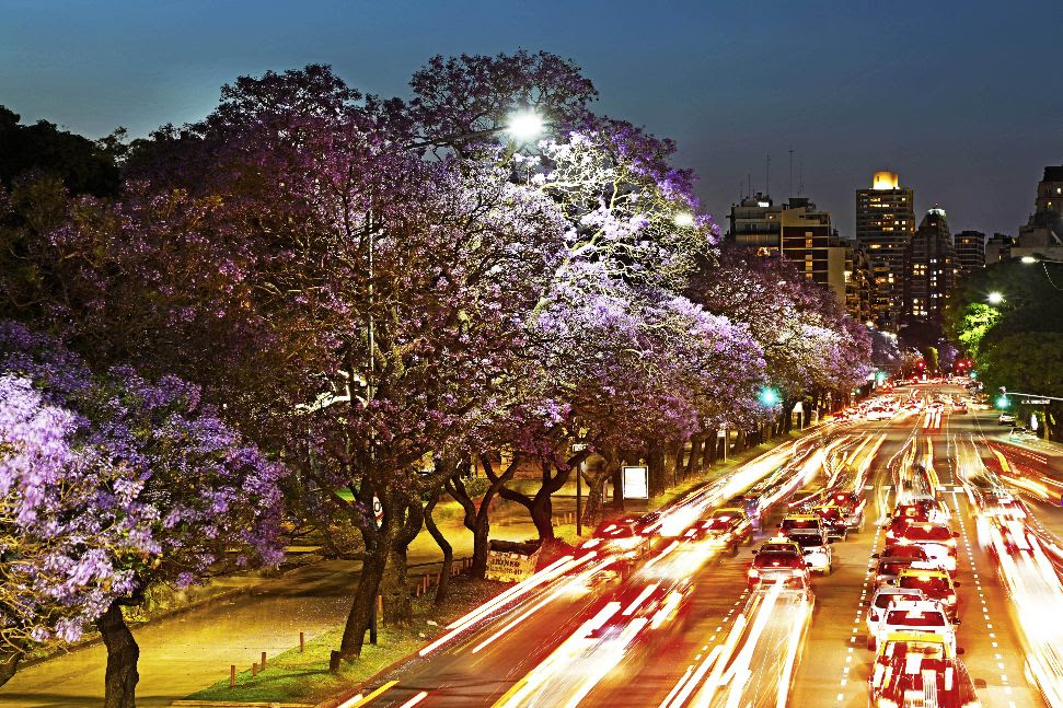 Florecen los jacarandás y una sinfonía azul violácea tiñe la Ciudad   Buenos  Aires No Duerme